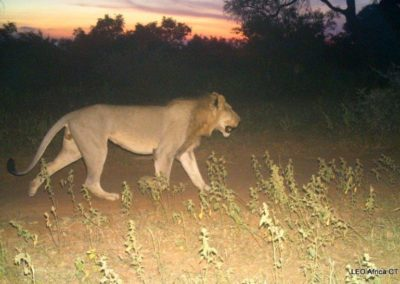 Lion male_1 - LEO Africa - Volunteers for Wildlife and Conservation