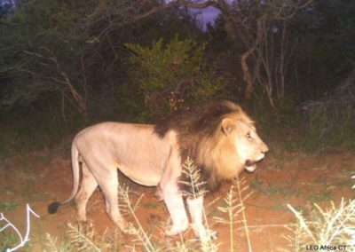 Lion male_2 - LEO Africa - Volunteers for Wildlife and Conservation