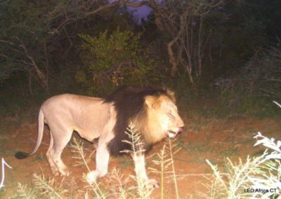 Lion male_3 - LEO Africa - Volunteers for Wildlife and Conservation