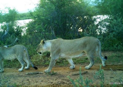 Lion pride passing - LEO Africa - Volunteers for Wildlife and Conservation