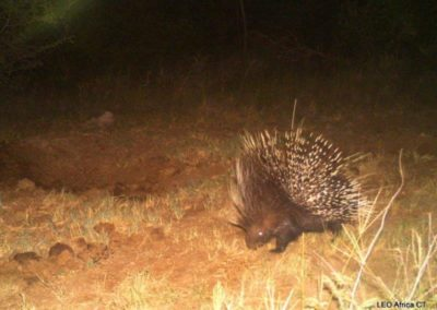 Porcupine_1 - LEO Africa - Volunteers for Wildlife and Conservation