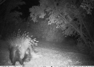 Purcupine scratching - WP Guardians