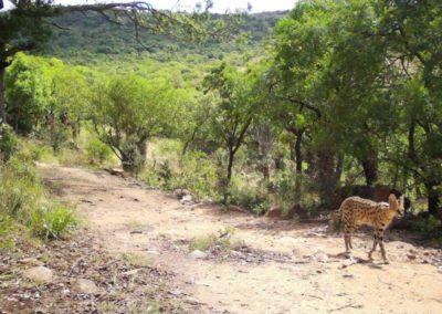 Serval - Zulu Rock Game Lodge