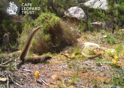 Small grey mongoose and Cape Cobra standoff - Cape Leopard Trust