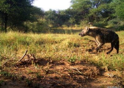 Spotted hyena_1 - LEO Africa - Volunteers for Wildlife and Conservation