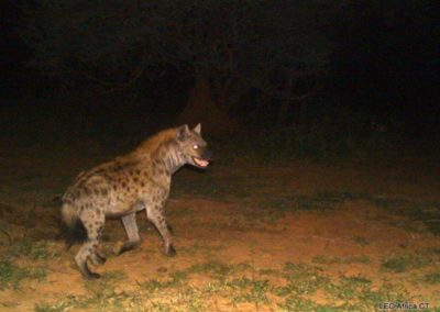 Spotted hyena_2 - LEO Africa - Volunteers for Wildlife and Conservation