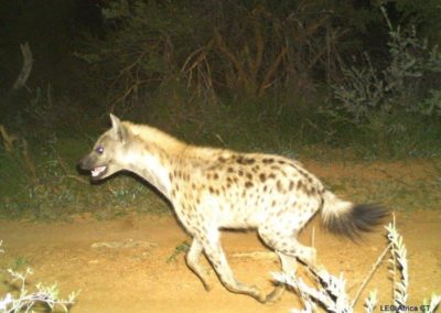 Spotted hyena_3 - LEO Africa - Volunteers for Wildlife and Conservation