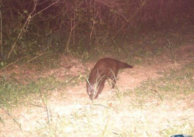 Water (Marsh) mongoose - Richard McKibbin - Zimbali Coastal Estate