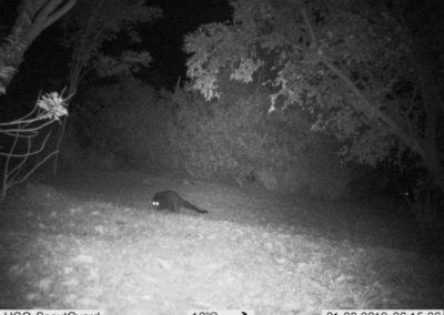 Water Mongoose_1 - WP Guardians