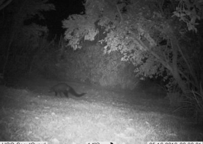 White tailed mongoose (dark form) 2 - WP Guardians