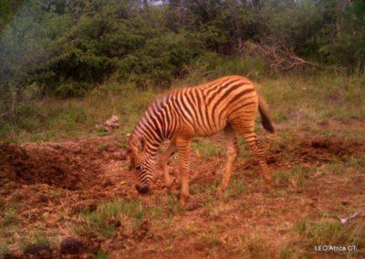 Zebra foal - LEO Africa - Volunteers for Wildlife and Conservation