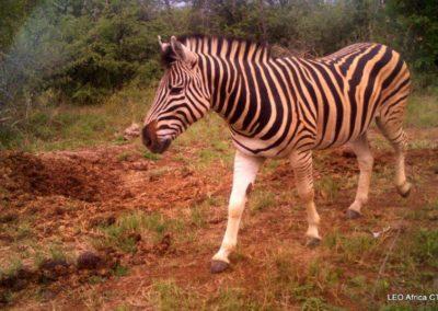 Zebra passing - LEO Africa - Volunteers for Wildlife and Conservation