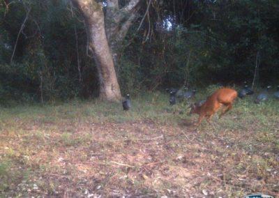 red duiker and crested guineafowl - Richard McKibbin - Zimbali Coastal Estate